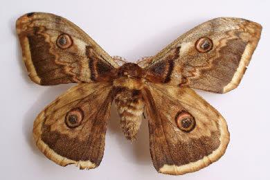 Papillons de nuit - Gros papillon de nuit dangereux ...